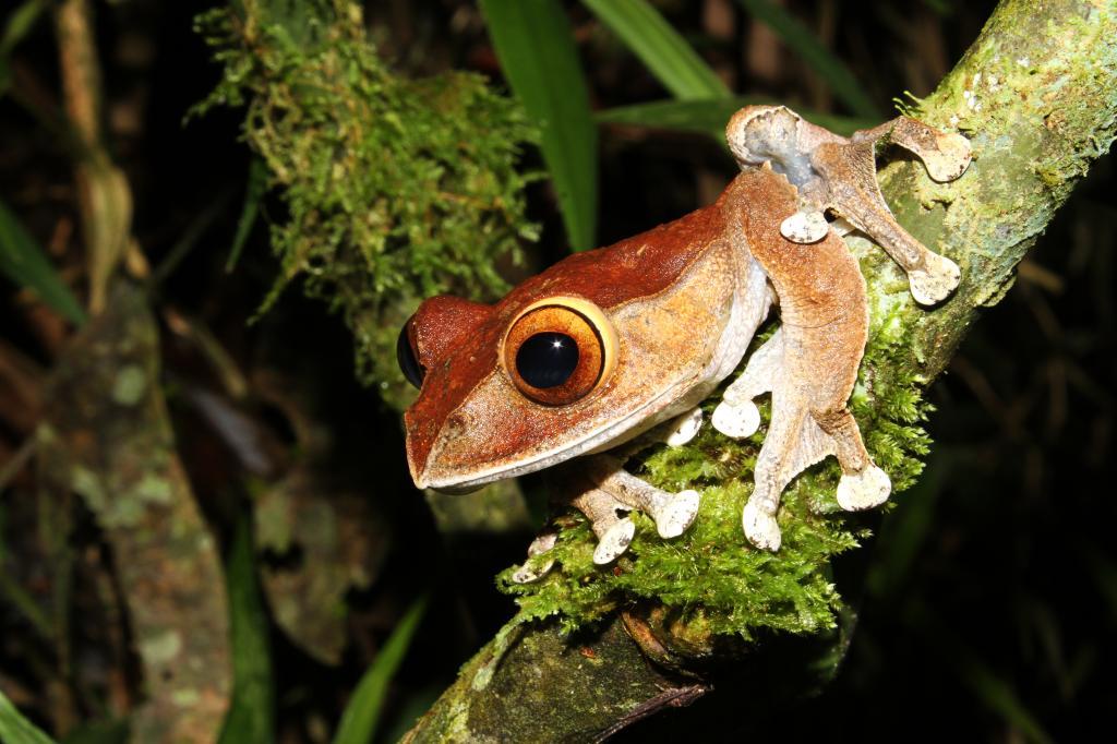 Boophis_madagascariensis_-Madagascar3