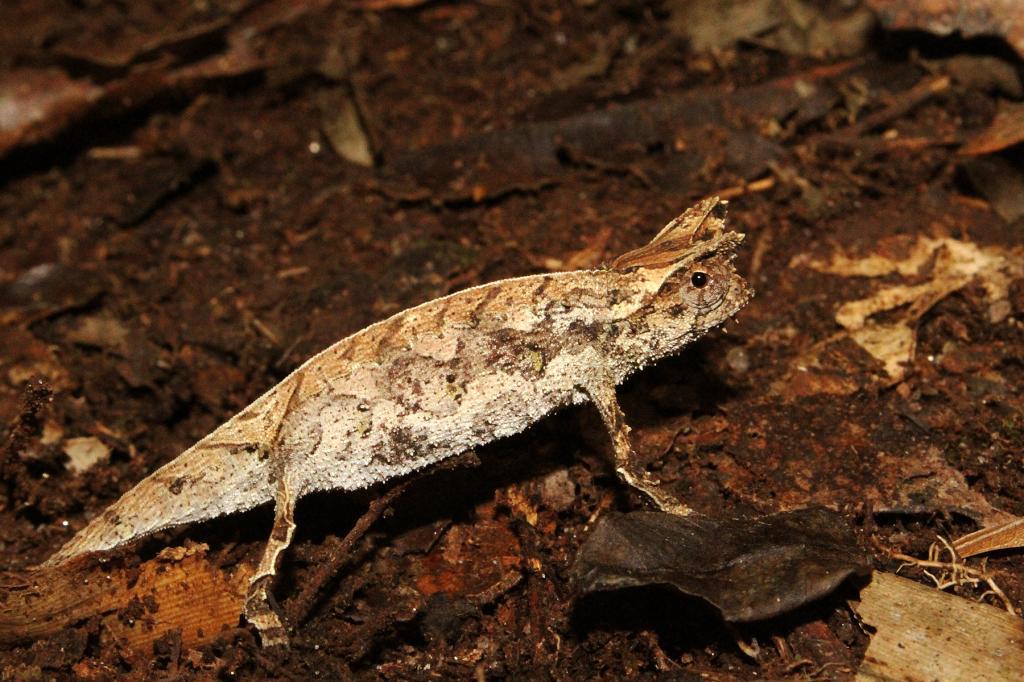 Brookesia_supercilliaris-Madagascar3