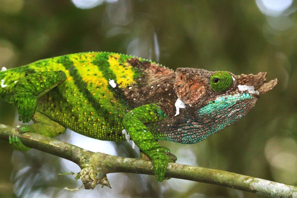 Calumma_oshaughnessyi-Madagascar3