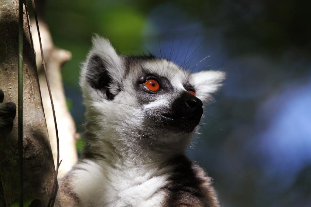 Lemur_catta-Madagascar3
