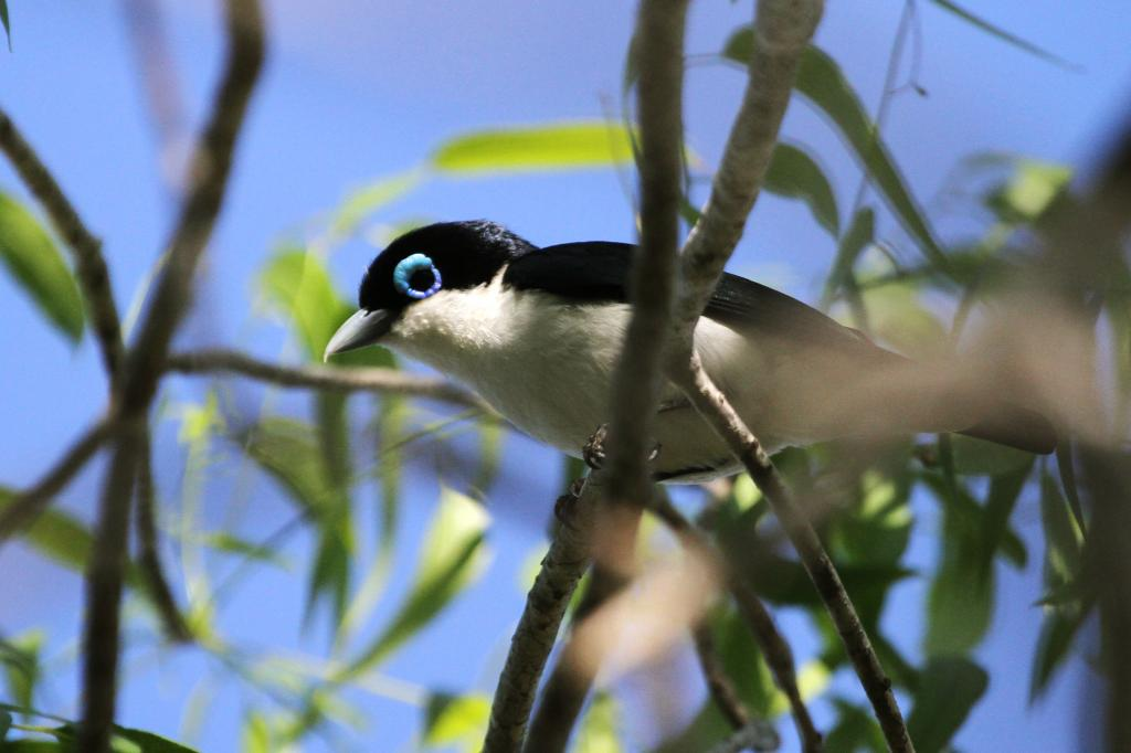 Leptopterus_chabert-Madagascar3