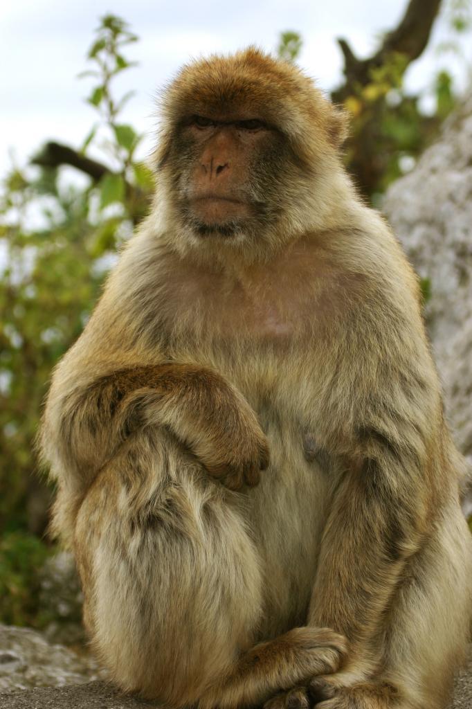Macaca_sylvanus-Gibraltar3