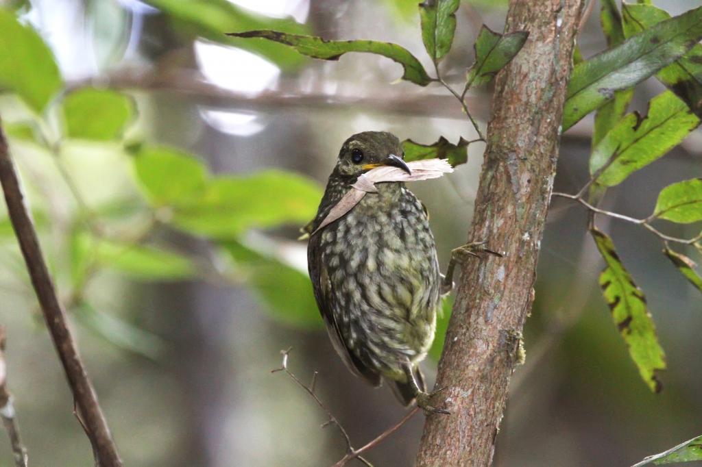 Philepitta-castanea-Madagascar-13